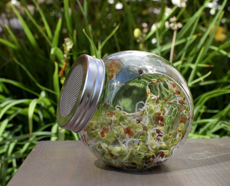 Rzodkiewka nasiona na kiełki w kiełkownicy słoikowej - dzień 4