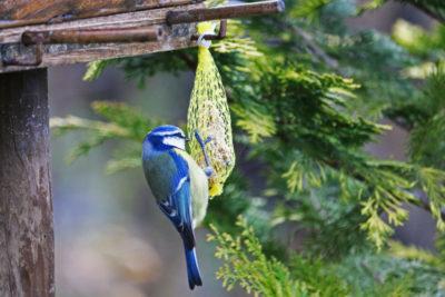 Sikorka modra zajada najchętniej kule tłuszczowe