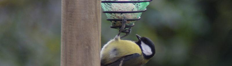 Sikorka bogatka i kula tłuszczowa dla ptaków