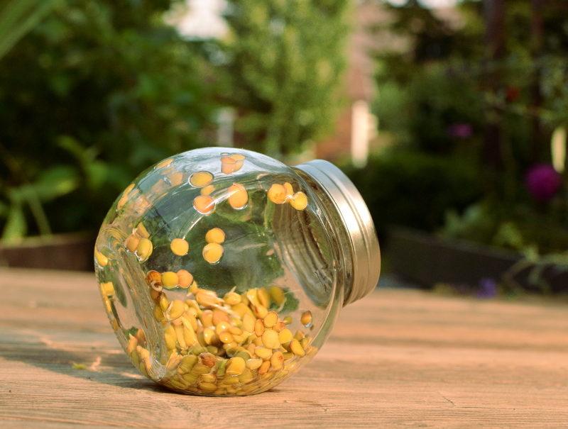 Nasiona soczewicy już następnego dnia po wysianiu w słoiku zaczynają puszczać korzonki