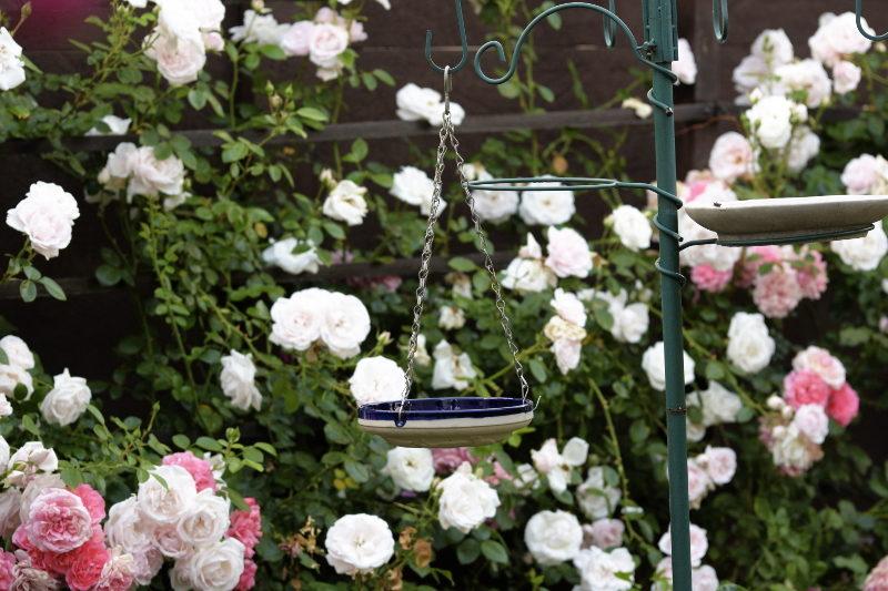 poidełko wiszące na tle róż