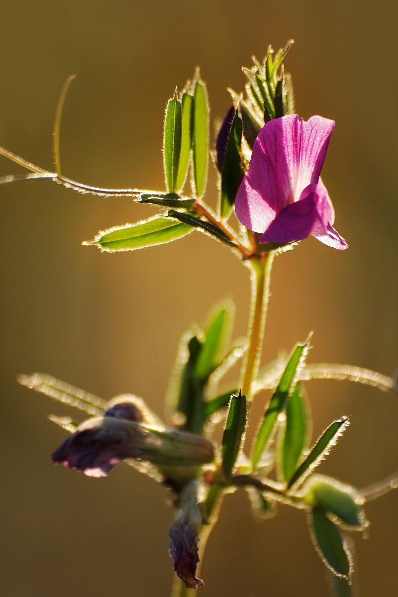 Wyka siewna jest obecna niemal w każdej mieszance roślin na poplon, bo jest bardzo cenna.