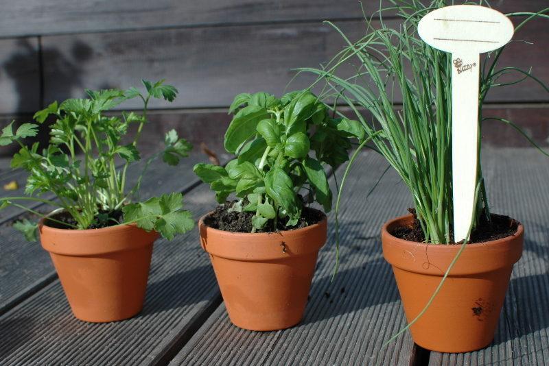 zioła BIO w cermicznych doniczkach: pietruszka, bazylia i szczypiorek