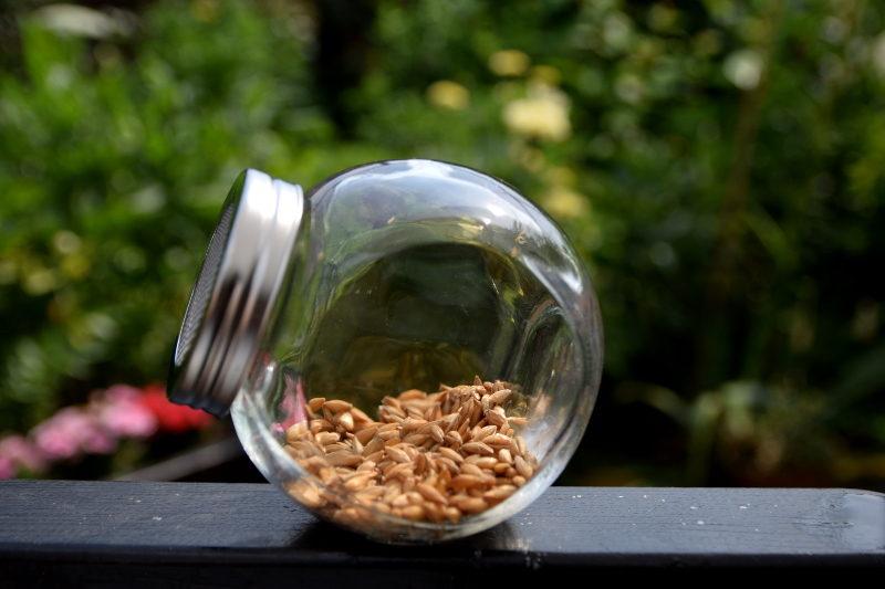 jęczmień nasiona w słoiku