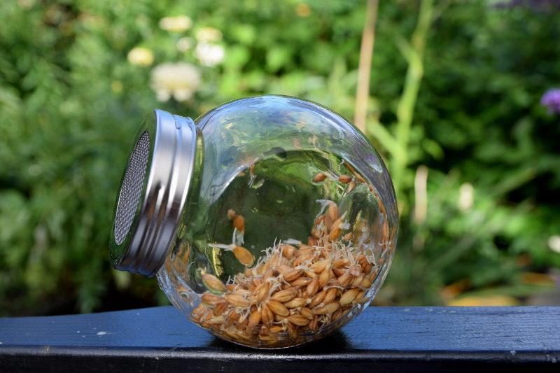 kiełkujące nasiona jęczmienia w słoiku