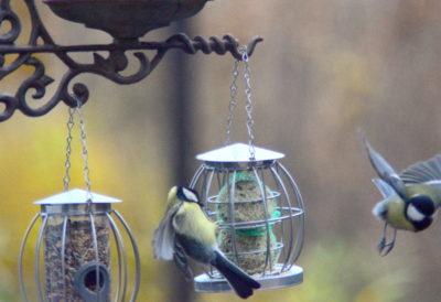 Ptaki przylatują do kul tłuszczowych przez całą zimę