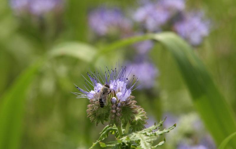 Pszczoła bierze nektar z facelii