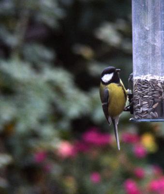 Co jedzą ptaki zimą? Oto słonecznik, najlepsze rozwiązanie dla niemal wszystkich gatunków.