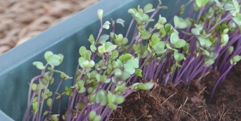 Kalarepa czerwona nasiona microgreens hurt 1