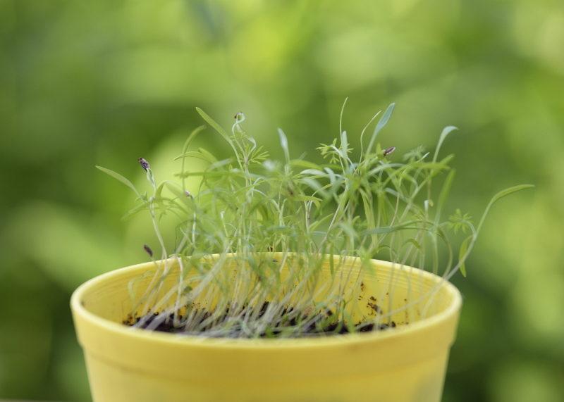 Koper na mikroliście nasiona 100g 2