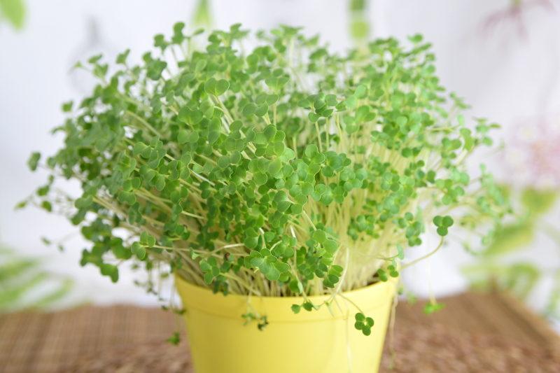 Lucerna na mikroliście nasiona 100g