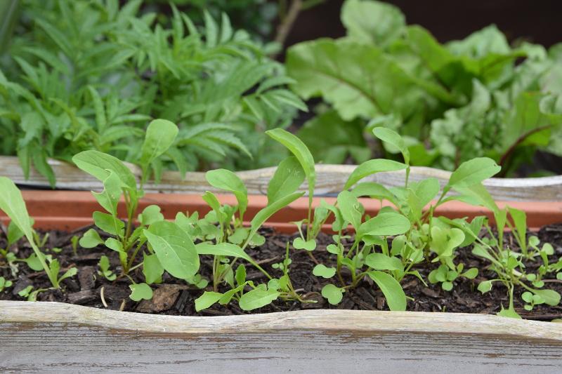 Rukola na mikrolistki świetnie się sprawdza i w domu i w ogrodzie