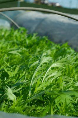 Dorosłe liście mizuny zielonej