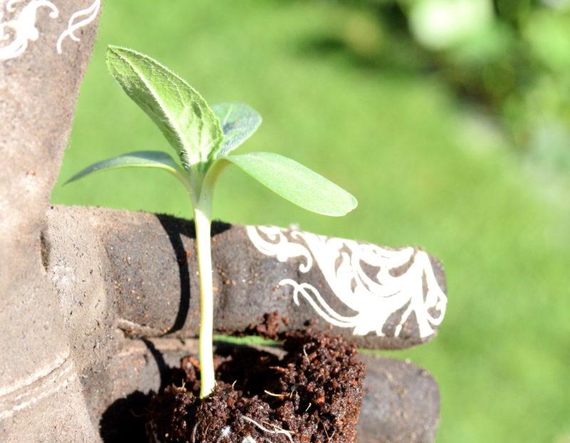 Słonecznik na mikrolistki pojedyncza roślina