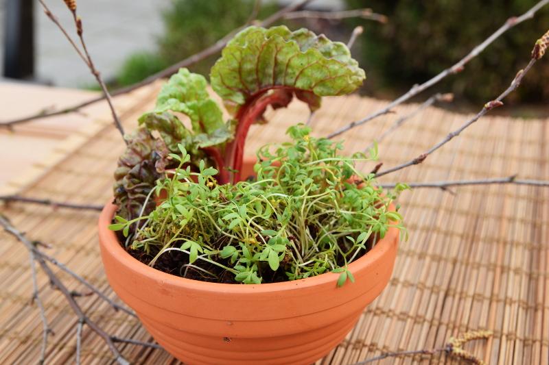 Rzeżucha jak sadzić? A właściwie jak ją siać? 2