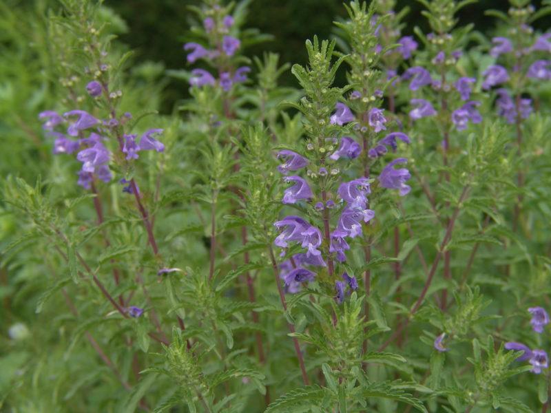 Pszczelnik mołdawski roślina miododajna