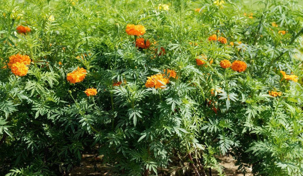 Aksamitka nasiona dla pszczół