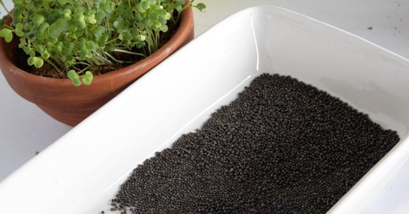 Brokuł nasiona microgreens hurt
