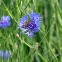 chaber bławatek nasiona dla pszczół
