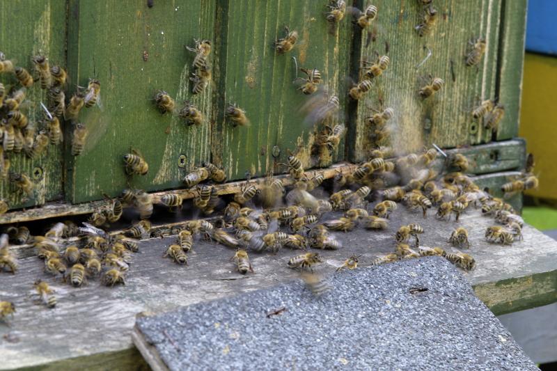 Jakie choroby powodują wymieranie pszczół?