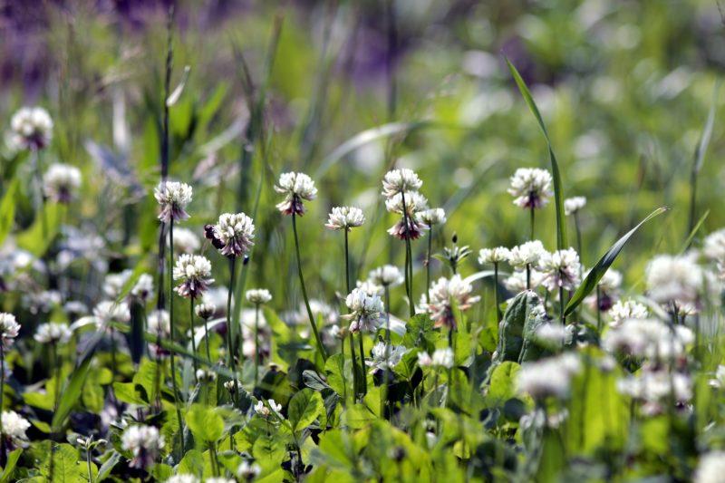 koniczyna biała nasiona dla pszczół