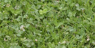Opieka nad trawnikiem jest bardzo trudna, łatwo doprowadzić do zachwaszczenia.