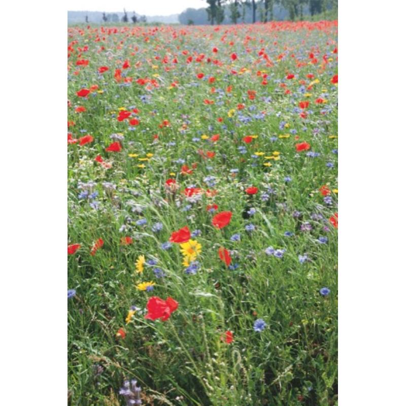 Łąka z ozdobnych kwiatów w czerwcu, głównie jednorocznych. Jak założyć łąkę