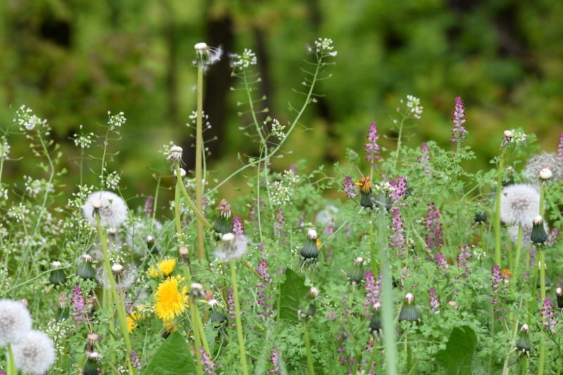 Naturalna łąka w maju