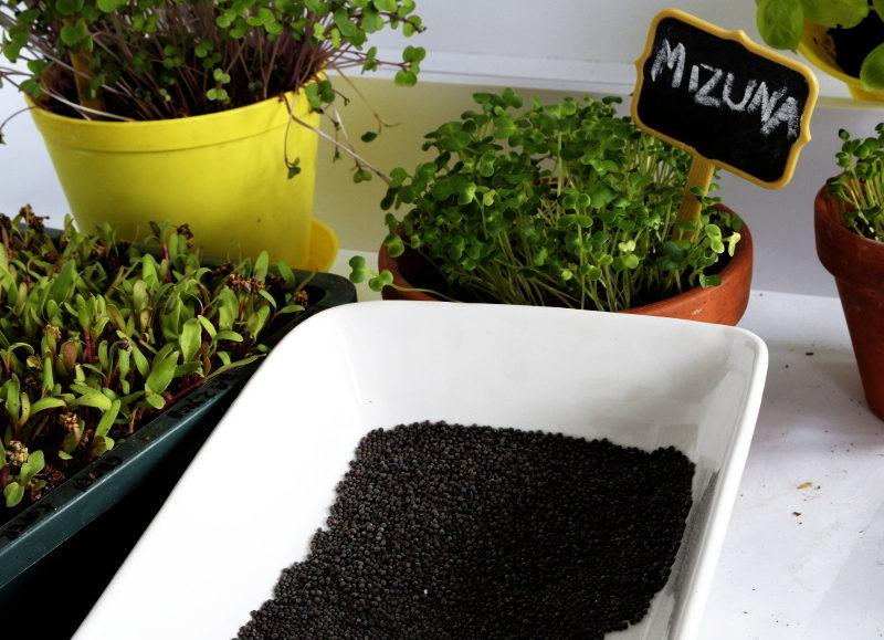 mizuna zielona hurt mikroliście