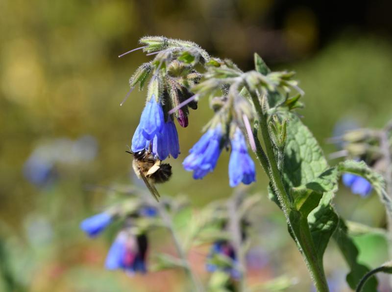 Pszczoła na kwiatku niebieskim
