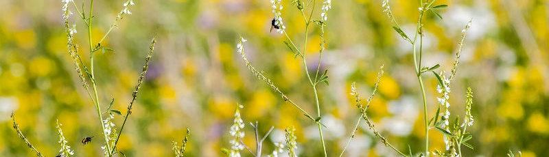 Wydajność miodowa roślin 4