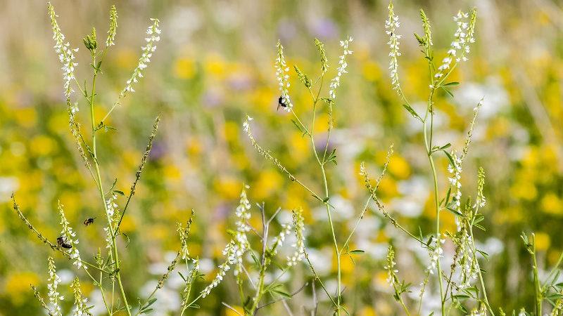 Wydajność miodowa roślin 3