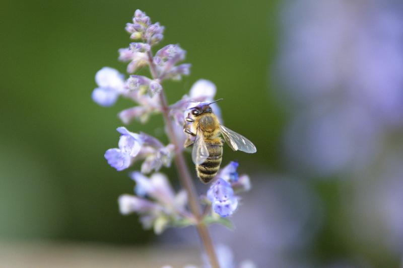 Dlaczego pszczoły wymierają?