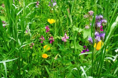 Łąka dla pszczół i innych owadów