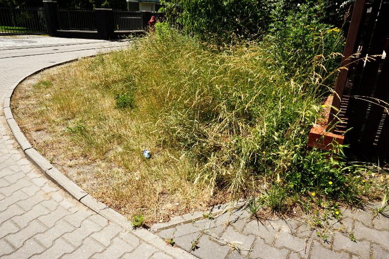 Zaniedbany trawnik nie jest atrakcyjny dla pszczół, nie ma nektaru.