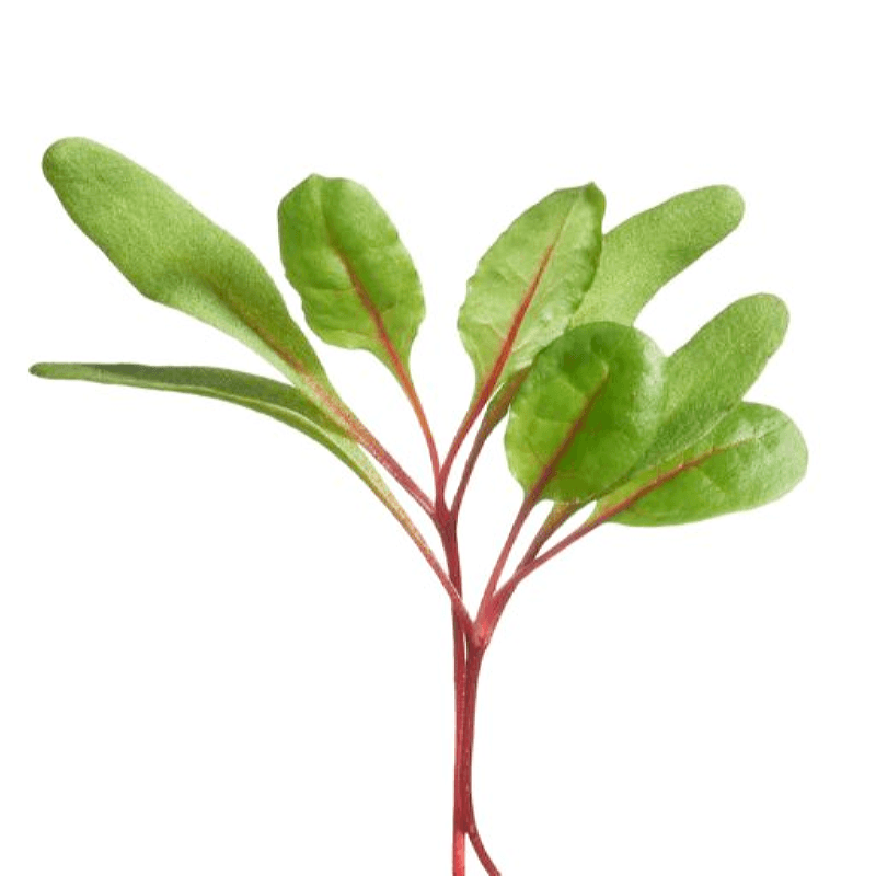 Szczawik krwisty microgreens