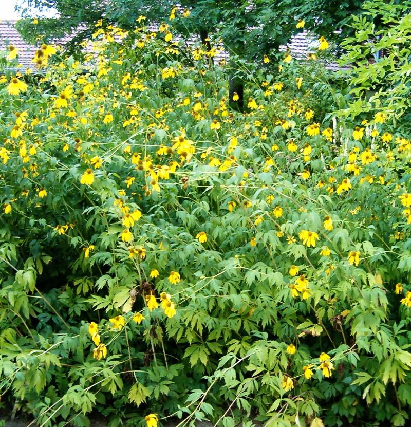 Rudbekia naga roślina inwazyjna
