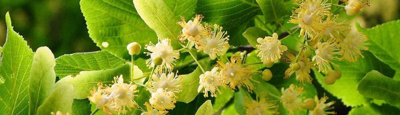 Rośliny dla pszczół do ogrodu 1