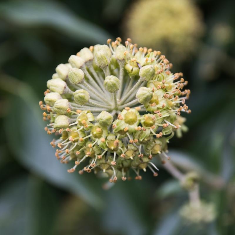 Rośliny dla pszczół do ogrodu 2
