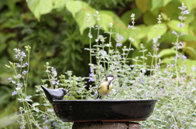 czy ptaki piją wodę - poidełka dla ptaków