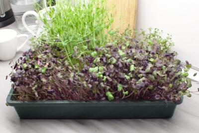 Mikroliście rzodkiewki Red Purple