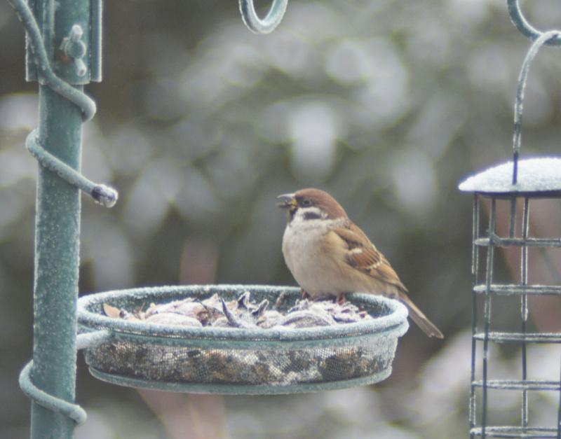 Mazurek zimą na stacji do dokarmiania ptaków
