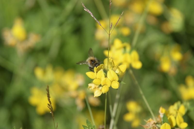 Pszczoła na kwiatach komonicy