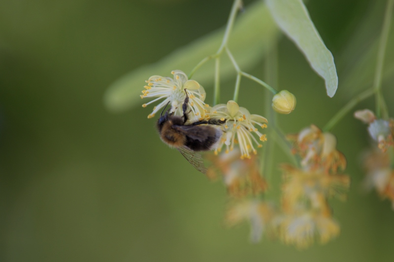 Kwiaty lipy przyciągają wiele owadów zapylających