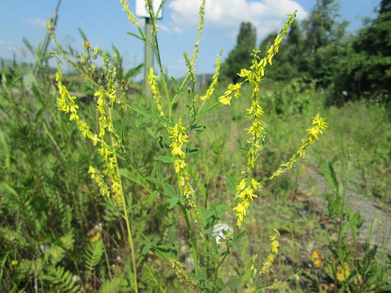 Nostrzyk żółty roślina miododajna