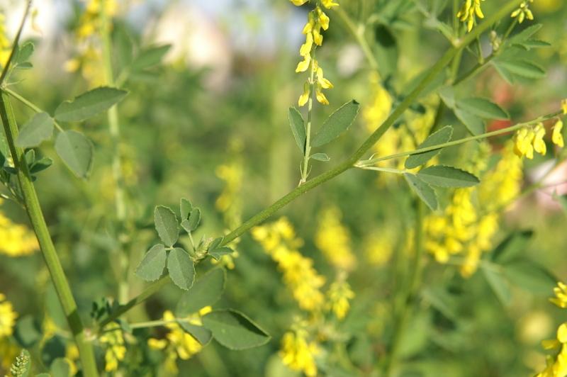 Nostrzyk żółty nasiona