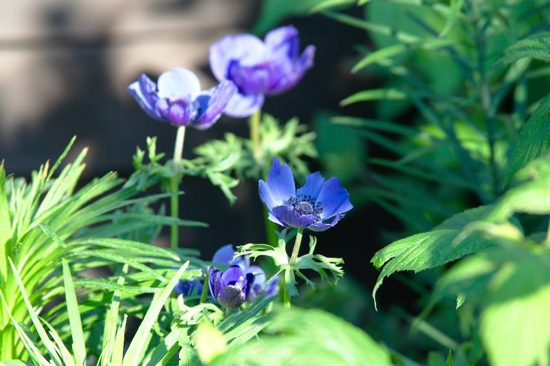 anemony cebuowe kwiaty przyciągające motyle
