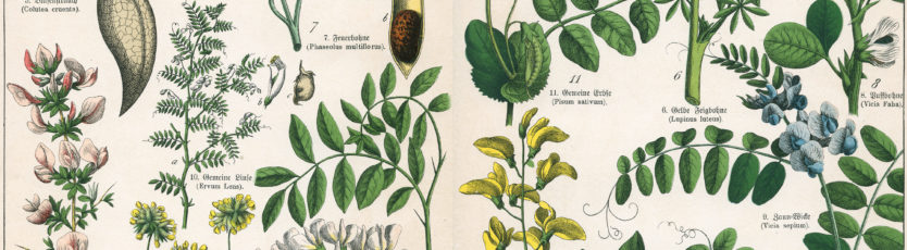 Rośliny Bobowate