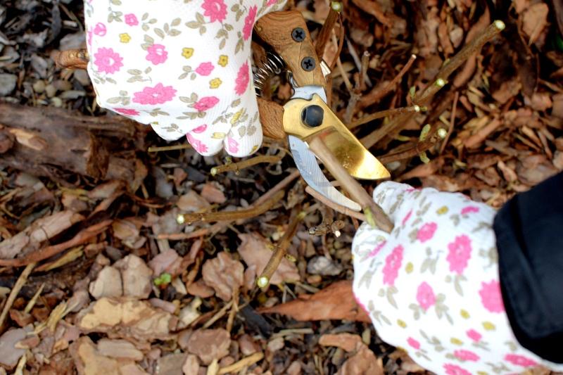 Jak należy ciąć hortensje wiosną