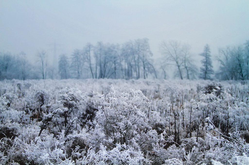 Oszroniona nawłoć zimą
